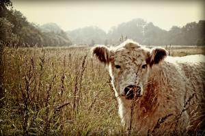 Kuh Boberger Dünen